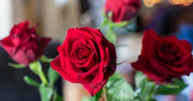 red roses- most common valentine flower gift
